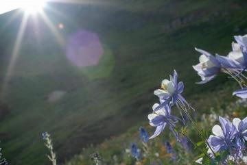 Columbines in Sun || Colorado