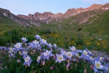 Columbines of American Basin || Colorado