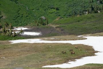 Elk Herd in Valley || West Elk Wilderness, CO