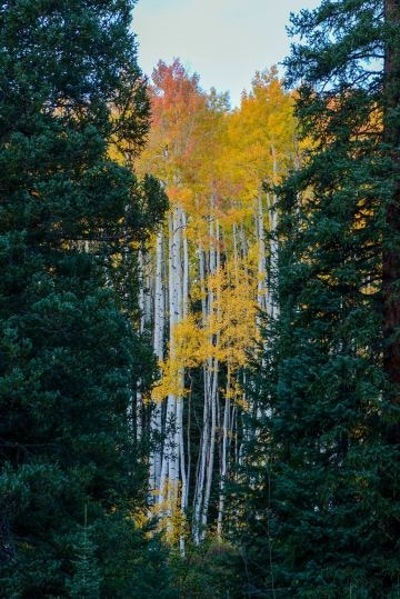 Forest through the Trees || Elk Mountains, CO