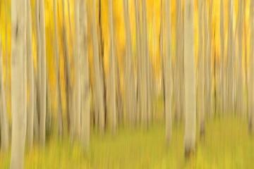 Golden Hint of Aspens    Elk Mountains, CO