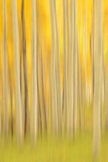 Golden Hint of Aspens || Elk Mountains, CO