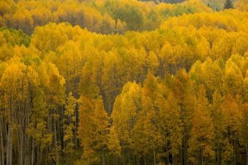 Golden Hues of Aspen    Crested Butte, CO