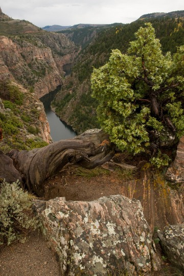 Juniper along Curecanti Creek Trail || Colorado