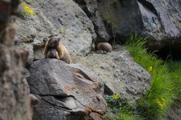 Marmot Mother || Gunnison National Forest, CO