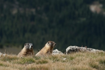 Montezuma Marmot || Colorado