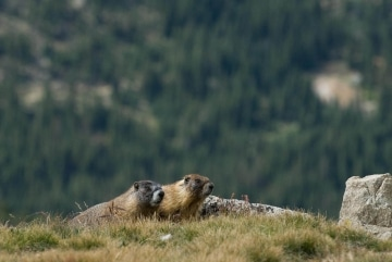 Montezuma Marmots || Colorado