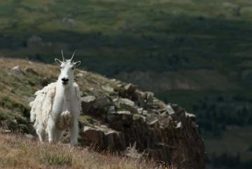 Montezuma Mountain Goat || Colorado