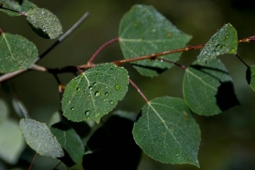 Morning Dew on Aspen Leaf || Mt of the Holy Cross, CO