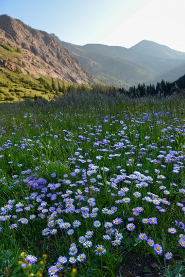 Morning Wildflowers of San Juans || Colorado