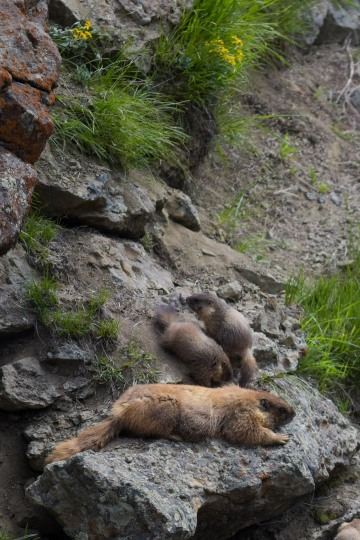 Mother and Young Marmots || Gunnison National Forest, CO
