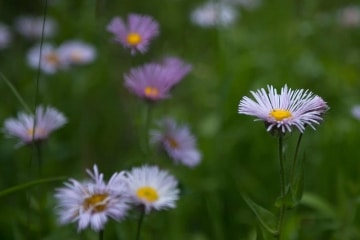 Mountain Asters || Mt of the Holy Cross, CO