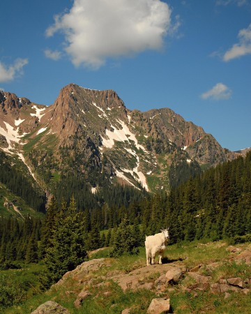Mountain Goat || Chicago Basin, CO