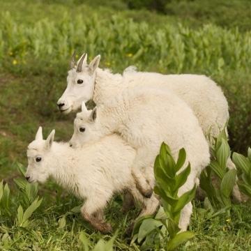 Mountain Goat Kids || Chicago Basin, CO