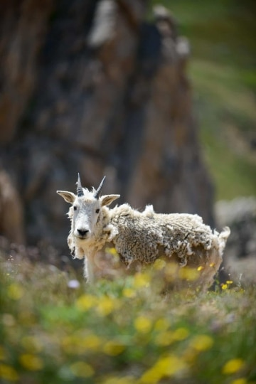 Mountain Goat || Montezuma, Colorado