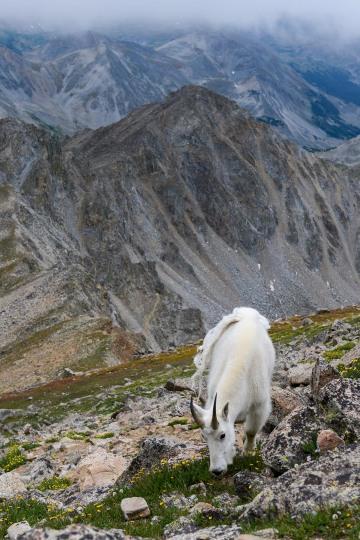 Mountain Goat || Mt. Harvard, CO