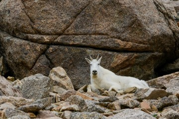 Mountain Goat in Talus || Mt. Harvard, CO