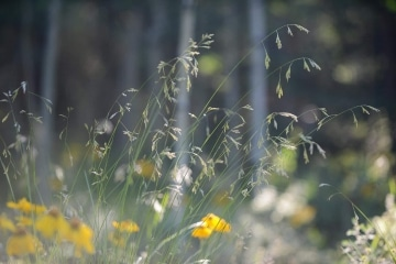 Native Grasses || Colorado