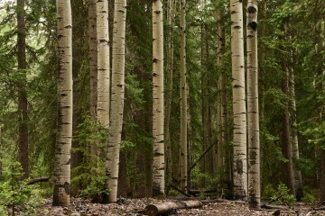 Old Growth Aspen and Pines || Gunnison National Forest, CO