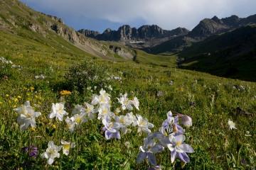 Sunlit Columbines in American Basin    Colorado