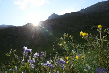 Wildflowers in Sun    American Basin, CO
