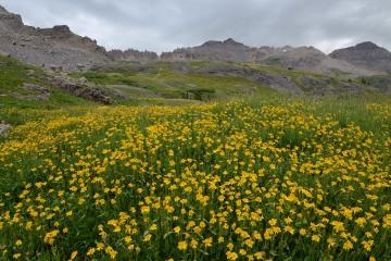 Wildflowers of Governor Basin || Colorado
