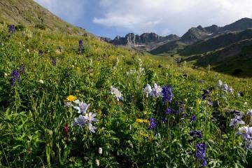 Wildflowers of San Juan|| American Basin, CO