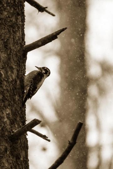Winter Woodpecker || Colorado
