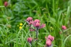 Alpine Wildflower || Gunnison National Forest, CO