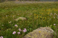 Asters and Indian Paintbrush || Governor Basin, CO