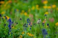 Bird Chirping in American Basin || Colorado