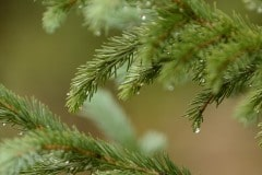 Dew on Pine Needles    Crested Butte, CO