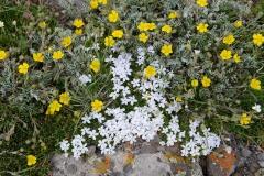 Flowers of the Alpine Tundra    West Elk Wilderness, CO