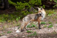 Fox Catches Squirrel || Colorado