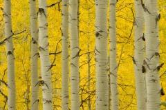 Golden Aspens || Elk Mountains, CO