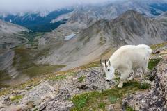 Mountain Goat    Mt. Harvard, CO