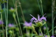 Wildflowers of Sangre de Cristo || Colorado
