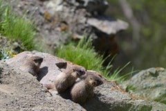 Young Marmots || Gunnison National Forest, CO