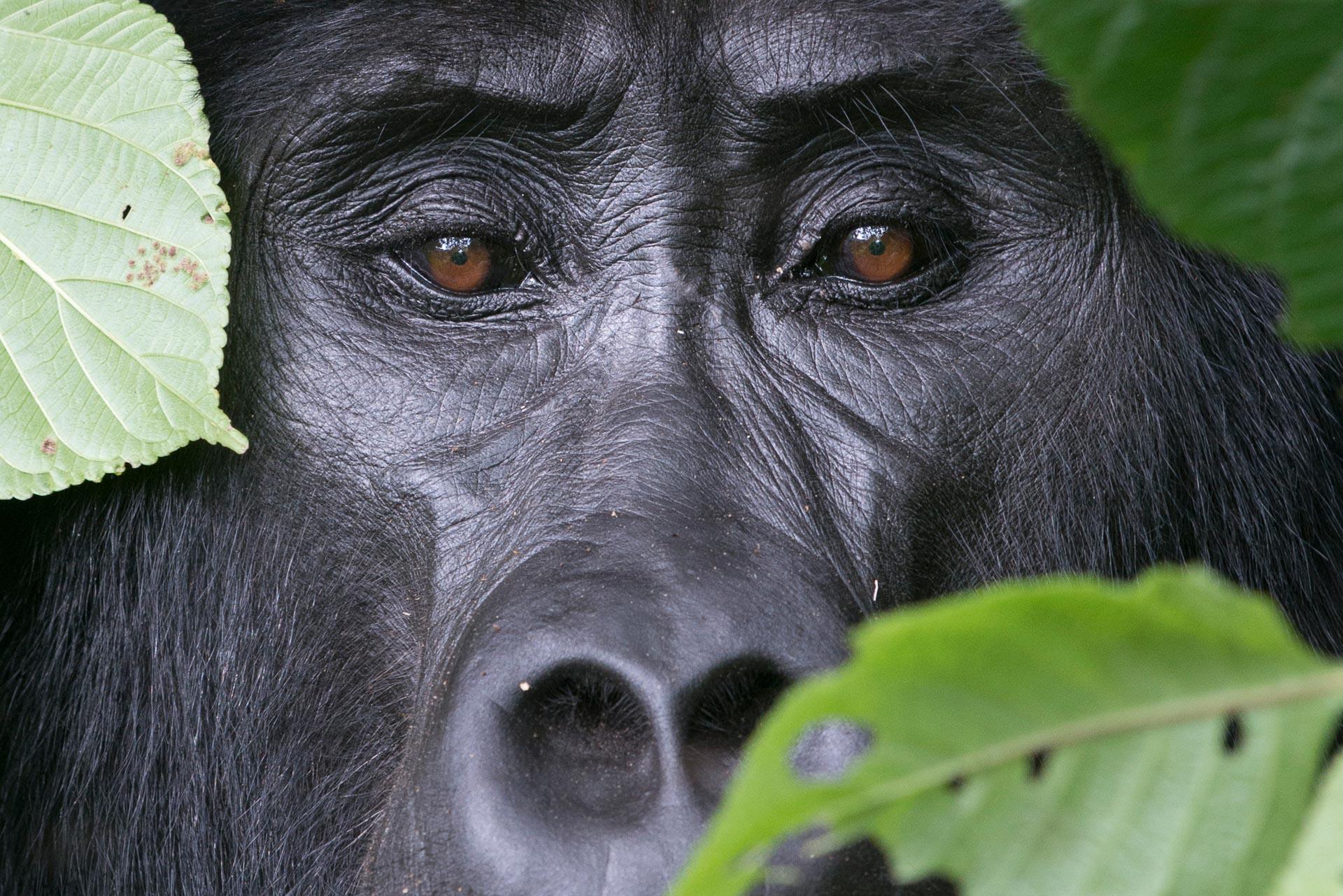 Eyes of a Kahungye Gorilla || Bwindi Impenetrable National Park, Uganda