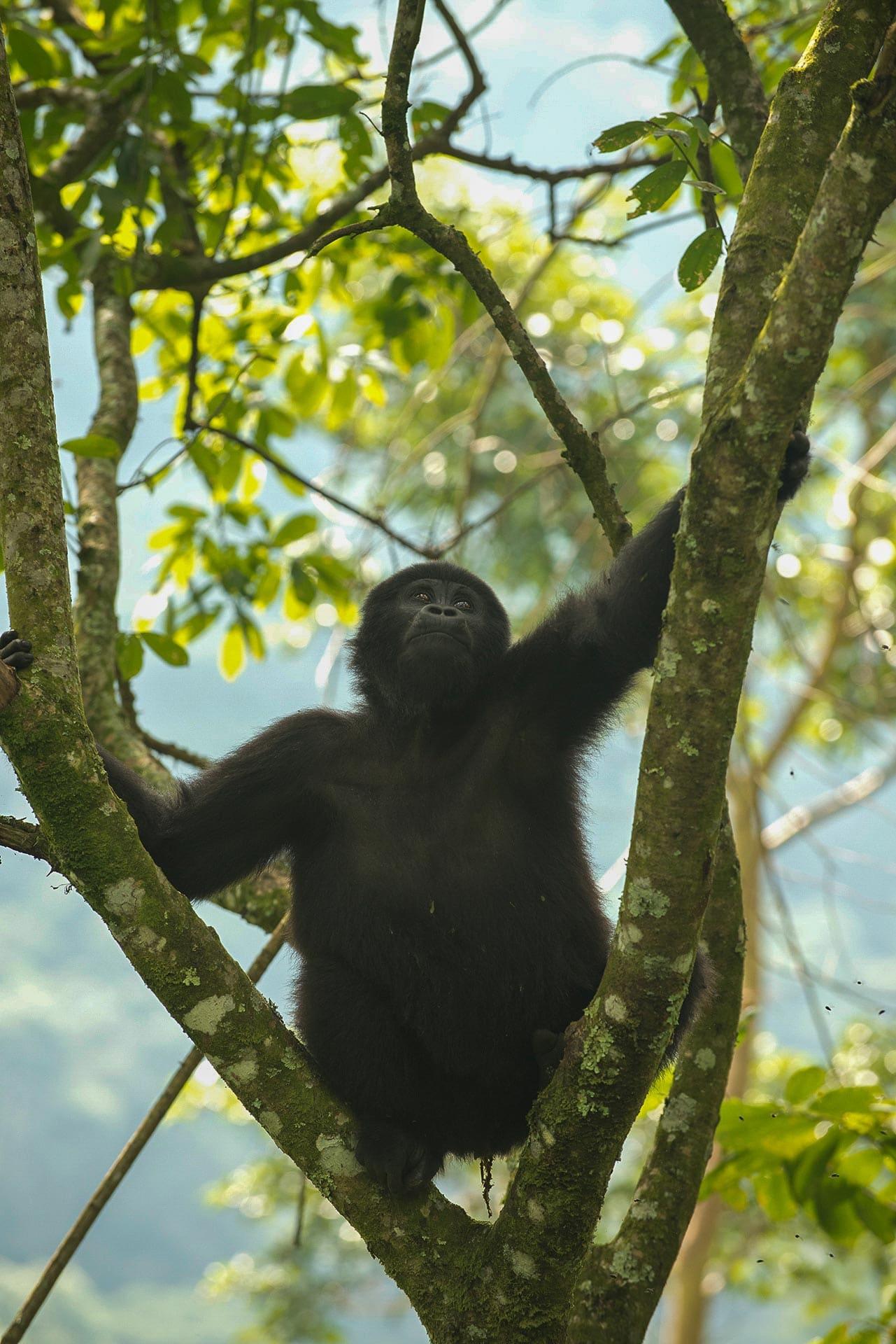 Young Nkuringo Gorilla || Bwindi Impenetrable National Park, Uganda