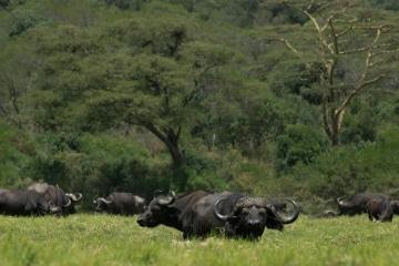 African Buffalo in Ngurdoto Crater || Arusha National Park, Tanzania
