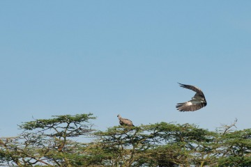 African White-Backed Vulture || Serengeti National Park, Tanzania