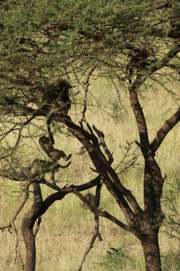 Baboon Playtime || Serengeti National Park, Tanzania