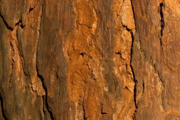 Bark || Mgahinga Gorilla National Park, Uganda