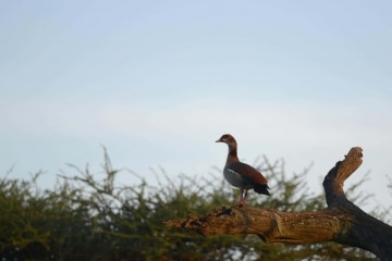 Bird of the Serengeti || Serengeti National Park, Tanzania