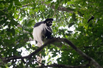 Black and White Colobus Monkey || Arusha National Park, Tanzania