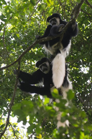 Black and White Colobus Monkeys || Arusha National Park, Tanzania