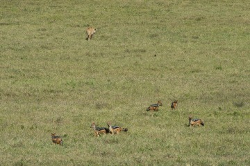 Black-backed Jackal and Lion Spar over Kill || Ngorongoro Crater, Tanzania