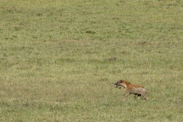 Black-backed Jackal with Lion Kill || Ngorongoro Crater, Tanzania