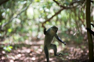 Blue Monkey Dance || Jozani Chwaka Bay National Park, Zanzibar